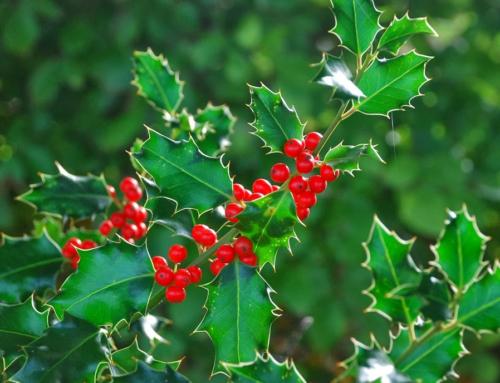 La pianta Holly e la personalità tipica